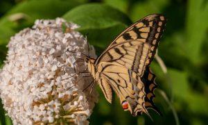 Самые ароматные цветы - Топ 15 Куст бабочки (Буддлея Давида)
