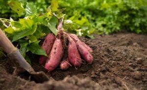 Выращивание батата : способы получения рассады