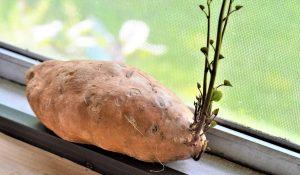 Клубни батата можно проращивать как картофель