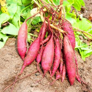 Вместо классического картофеля попробуйте выращивание батата