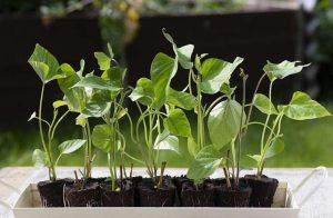 Выращивание батата в горшках