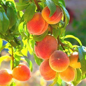 Как размножать персики прививкой – пошаговая инструкция