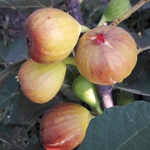 Правильная формировка и обрезка инжира для богатого урожая